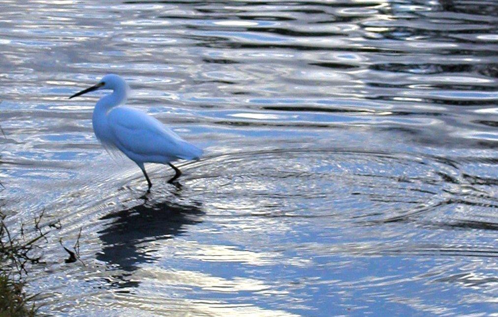 Longbilled Dowitcher  Multimedia  Neotropical Birds Online