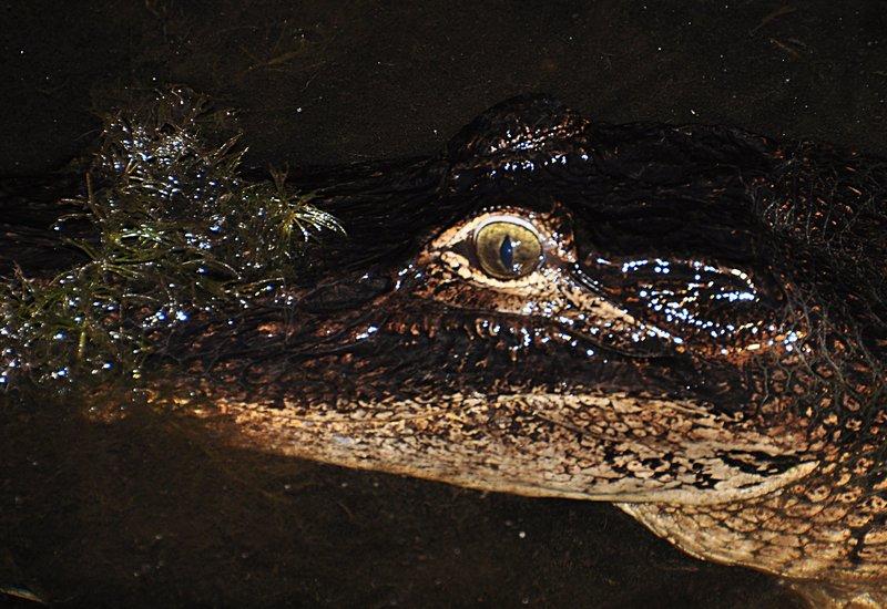 Alligator essays