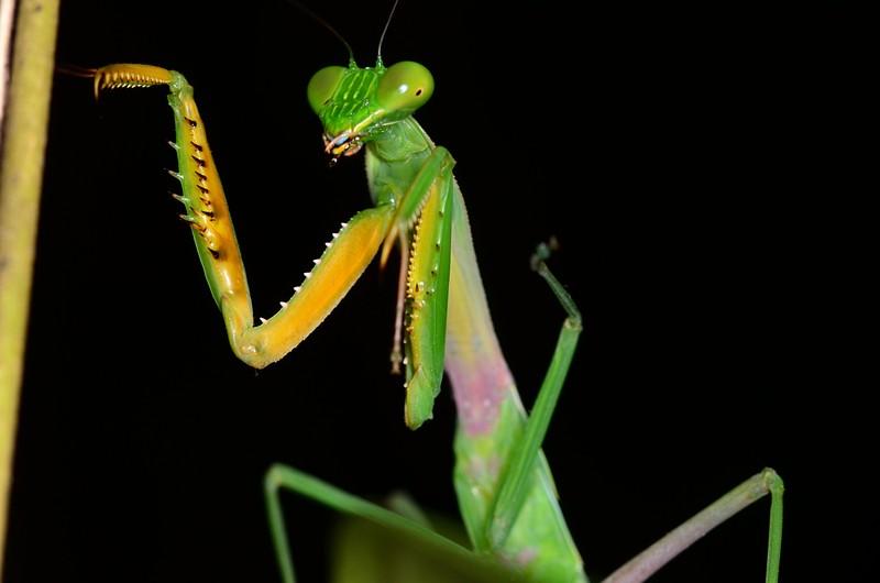The Praying Mantis Term paper