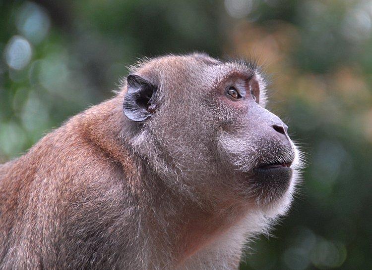 small essay on monkey