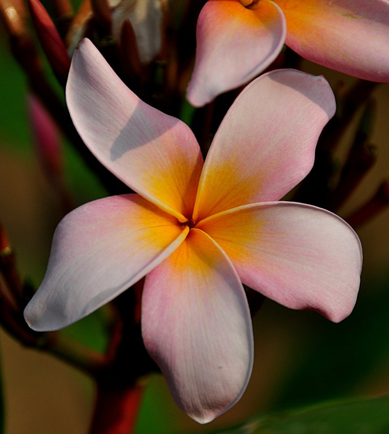 under the frangipani essay The frangipani flowers samanvitha - wichita, kansas entered on december 12, 2008 age group: under 18 themes: self-knowledge  weekly podcast of featured essays .