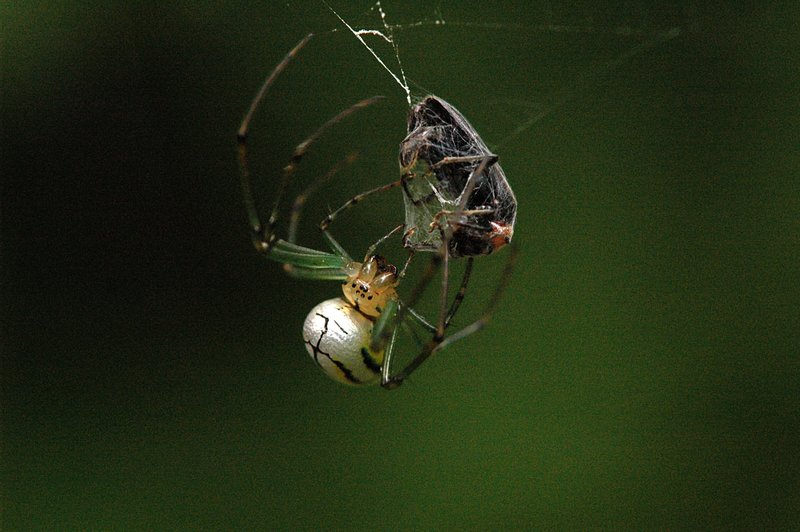 leucauge spider wrapping prey