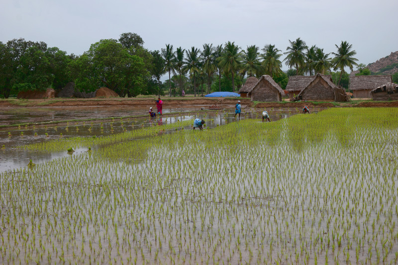 jun 19 3744 planting rice