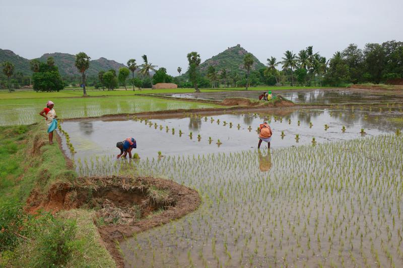 jun 19 3748 planting rice