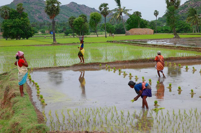 jun 19 3752 planting rice
