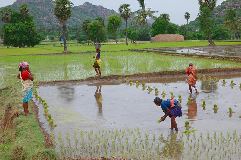 jun 19 3752 rice planting
