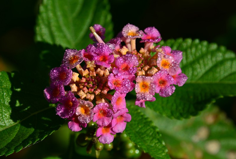 Facts About the Lantana Flower