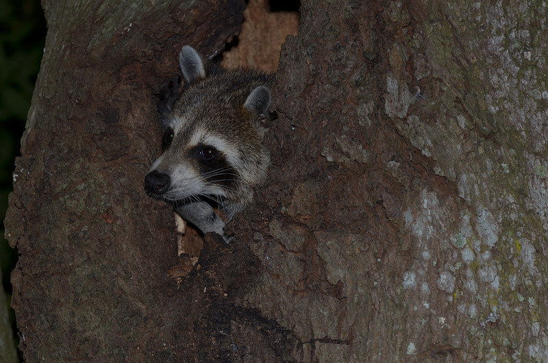 nov 13 9107 raccoon looking