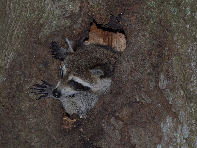 nov 13 9116 raccoon emerging