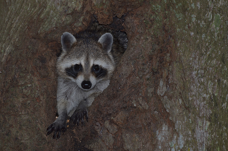 nov 13 9128 raccoon emerging