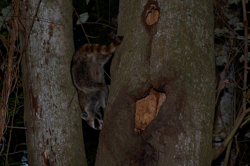 nov 13 9132 raccoon climbinb