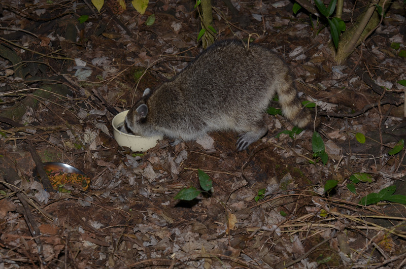 nov 13 9151 raccoon drinking