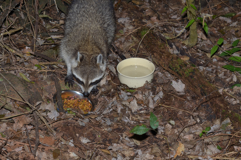 nov 13 9159 raccoon inspecting