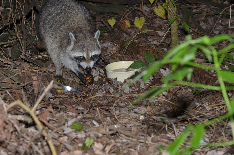 nov 13 9170 raccoon eating