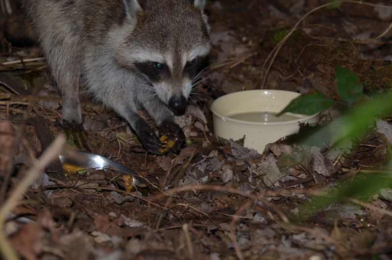 nov 13 9177 raccoon holding food