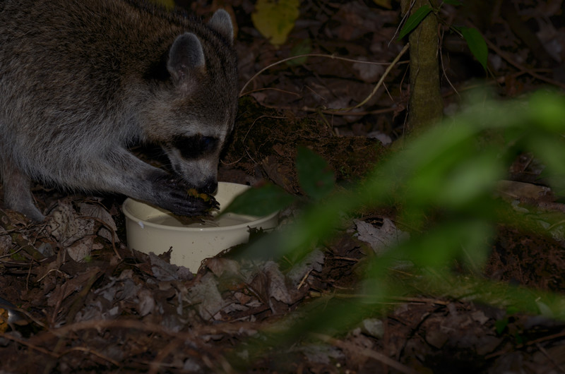 nov 13 9179 raccoon washing dinner