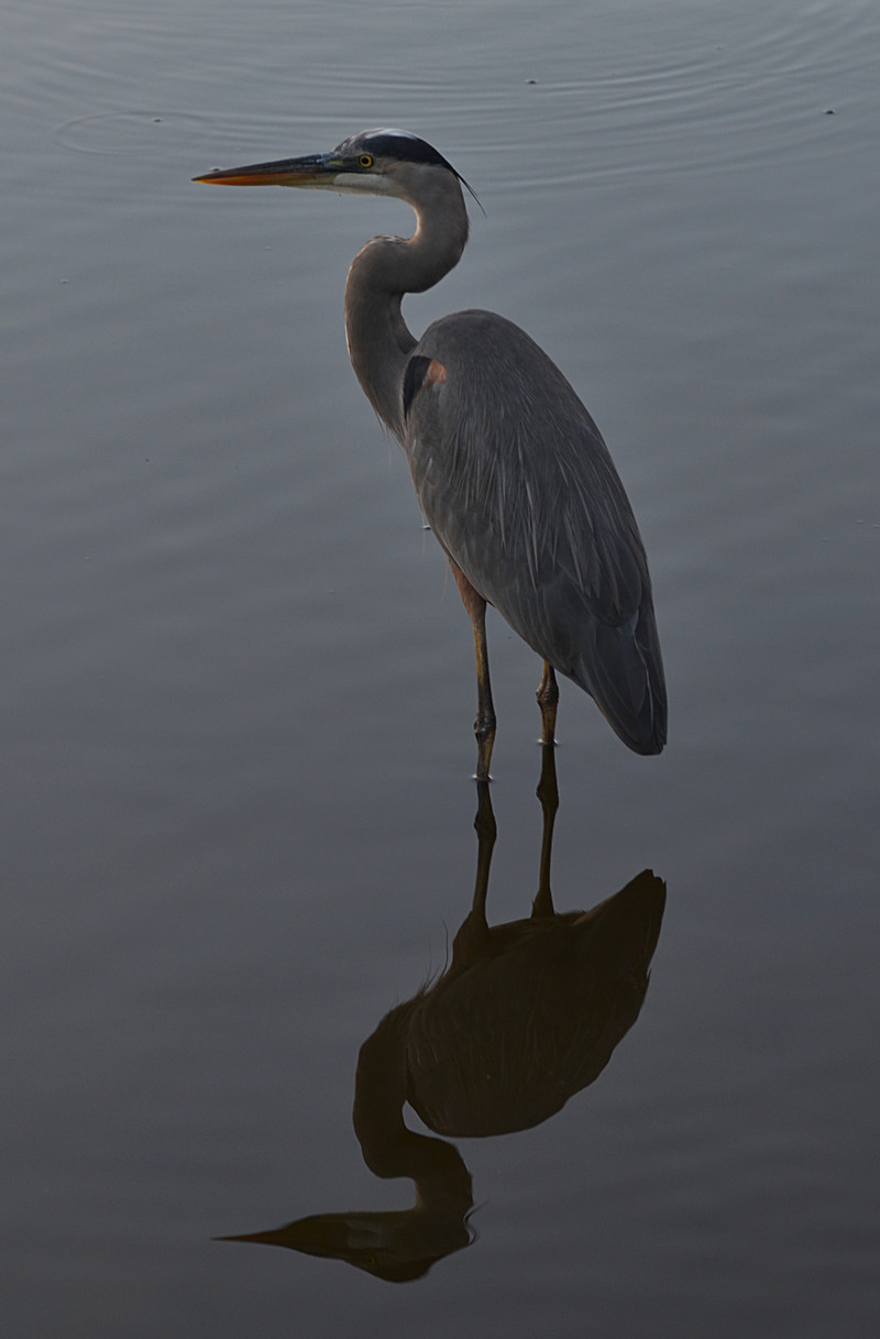 nov 16 9412 blue heron