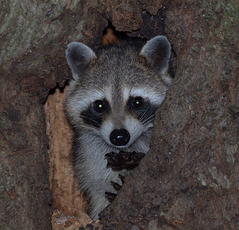 nov 16 9456 raccoon looking at me