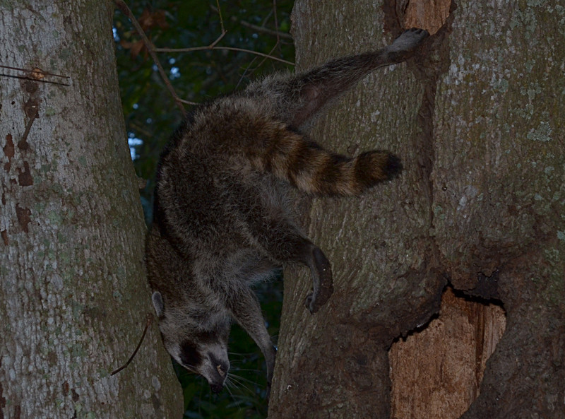 nov 16 9464 raccoon climbing down
