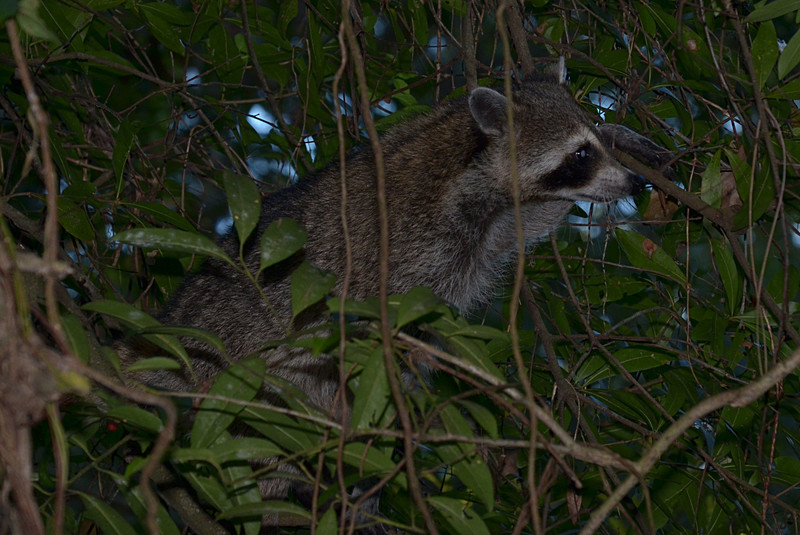 nov 16 9499 raccoon tangled