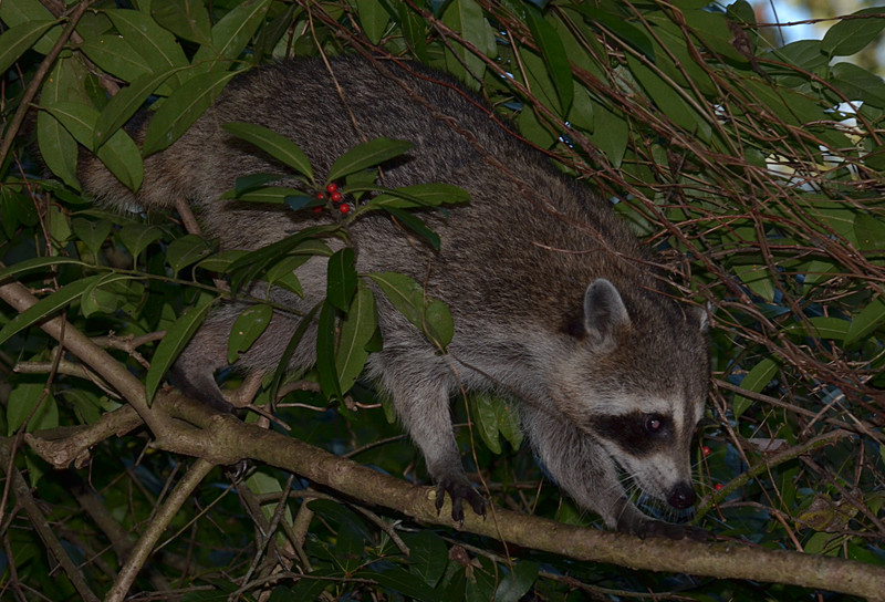 nov 16 9507 raccoon untangled
