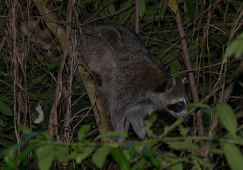 nov 16 9512 raccoon emerging