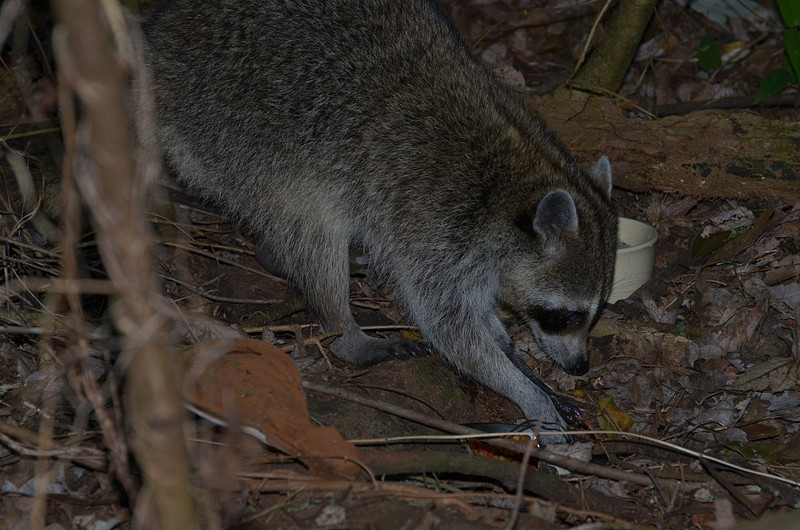 nov 16 9515 raccoon getting food