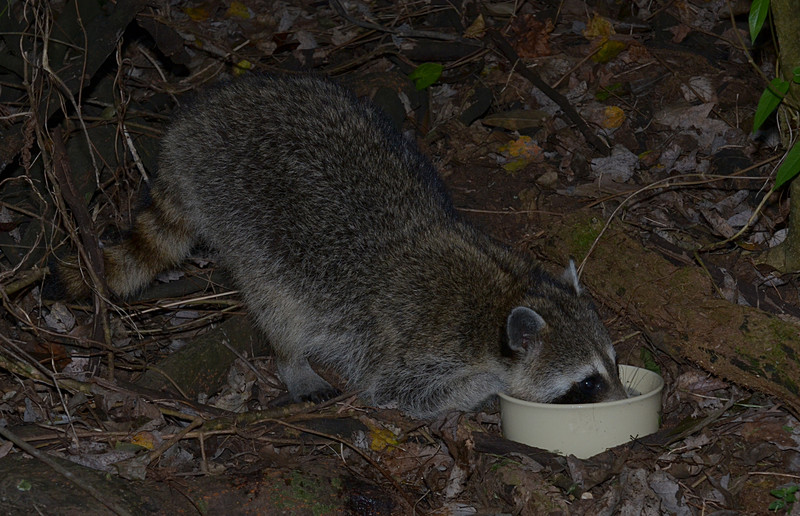 nov 16 9541 raccoon drinking