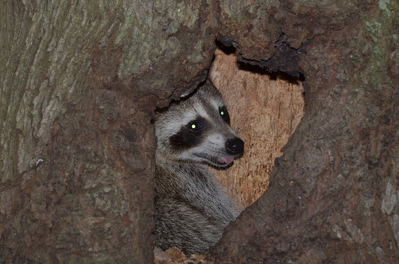nov 16 9571 raccoon at home