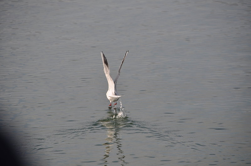 nov 18 1704 seagull takeoff