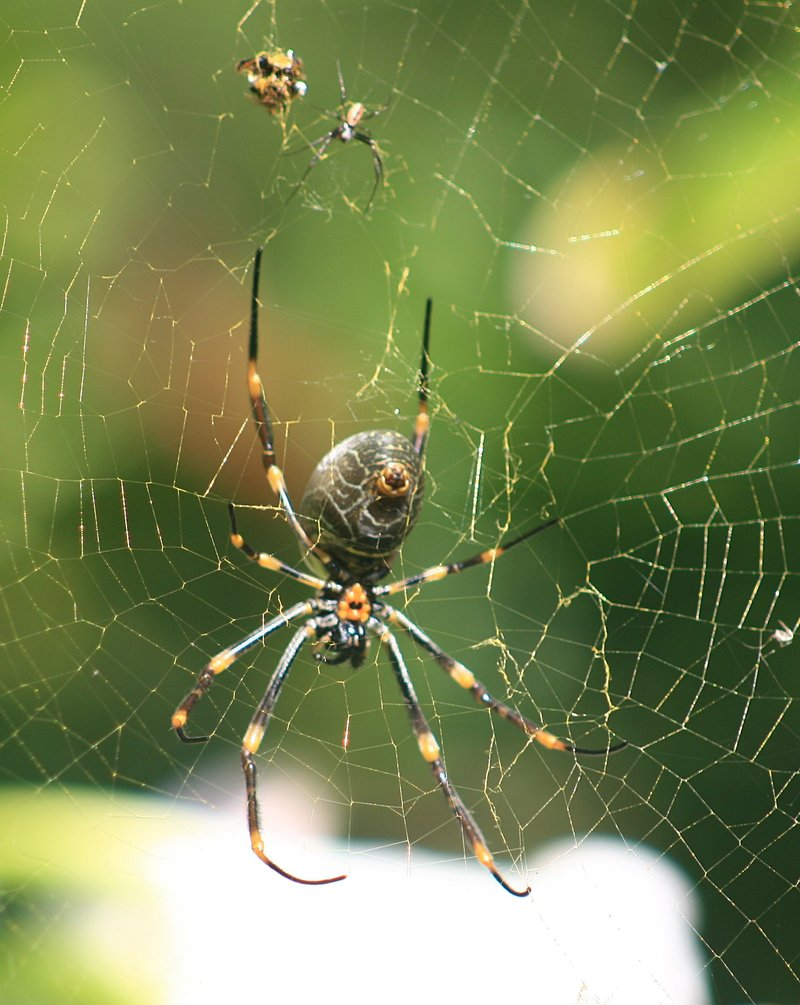 nov 19 3414 male female nephila