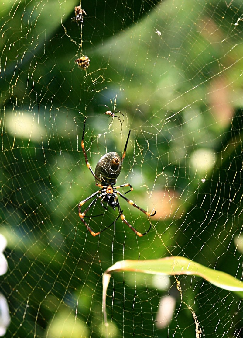 nov 19 3529 male female nephila