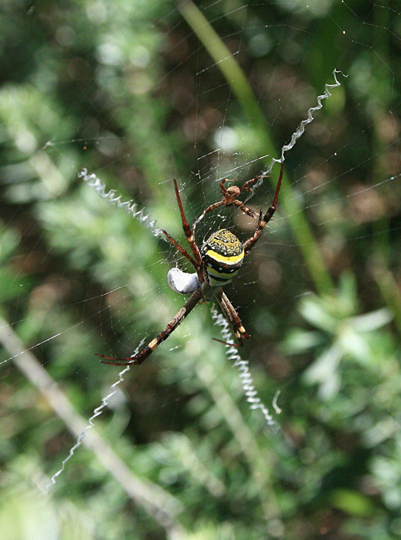 nov 20 3879 argiope female dorsal male ventral