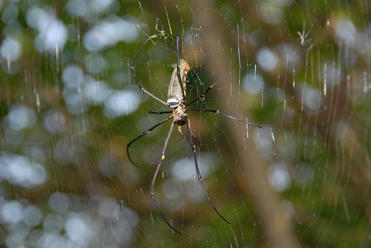 oct 29 0477 nephila