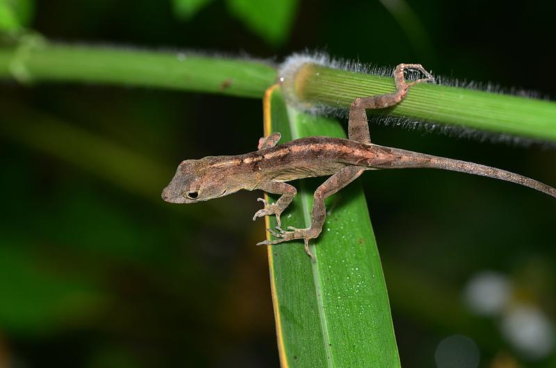 oct 31 5196 lizard