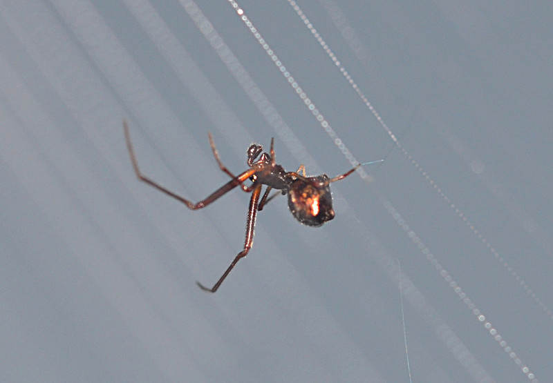 oct 31 5375 male argyrodes