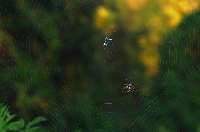 oct 31 5404 argiope aurania 2 web