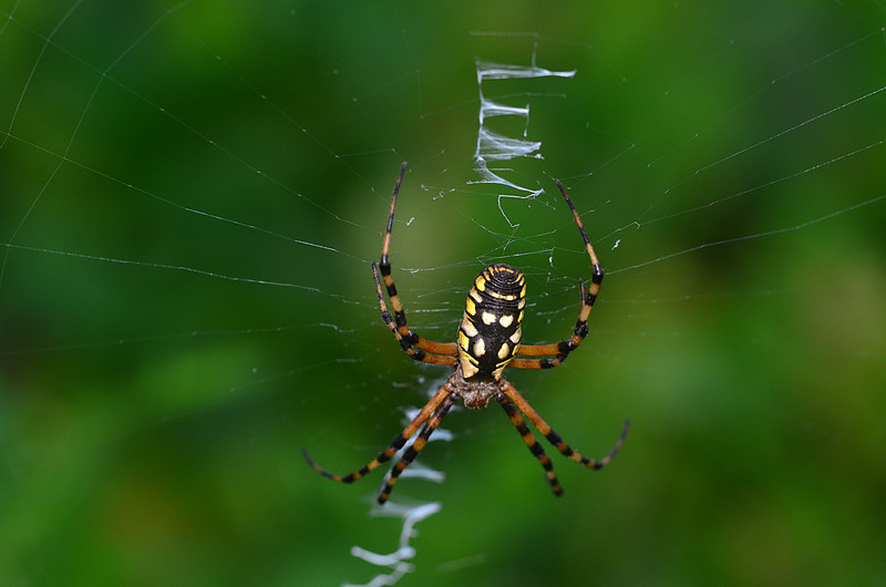 oct 31 5497 argiope aurantia 1 completed web